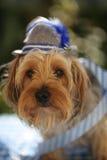 Yorkshire terrier med en bavarianhatt Royaltyfri Foto