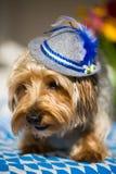 Yorkshire terrier med en bavarianhatt Arkivfoto