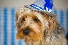 Yorkshire terrier med en bavarianhatt Royaltyfria Bilder