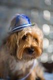 Yorkshire terrier med en bavarianhatt Royaltyfria Foton