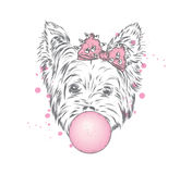 Yorkshire Terrier med en pilbåge blåser en bubbla av gummi Arkivbilder