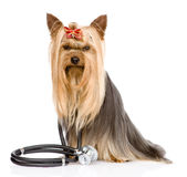 Yorkshire Terrier med en stetoskop på hans hals Isolerat på wh Royaltyfria Bilder