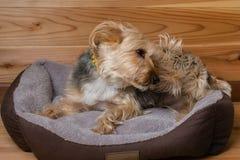 Yorkshire Terrier med kragen i säng som skrapar huvudet Royaltyfri Fotografi