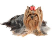Yorkshire Terrier med långt hår Royaltyfri Fotografi