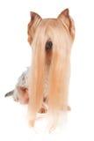 Yorkshire Terrier med mycket långt hår Royaltyfria Foton