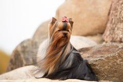Yorkshire Terrier med silkeslent hår som växer i vinden royaltyfria bilder