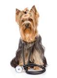 Yorkshire Terrier met een stethoscoop op zijn hals op wh Royalty-vrije Stock Afbeeldingen