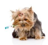 Yorkshire Terrier met een tandenborstel op witte backgroun Royalty-vrije Stock Fotografie