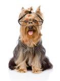 Yorkshire Terrier met glazen Op witte achtergrond Royalty-vrije Stock Fotografie