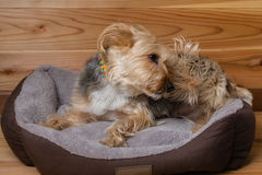 Yorkshire Terrier met Kraag in Bed Krassend Hoofd Royalty-vrije Stock Fotografie