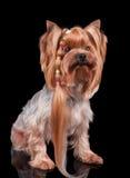 Yorkshire Terrier met lange krul van haar Stock Foto