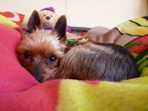 Yorkshire Terrier mignon dormant et refroidissant  Photos stock