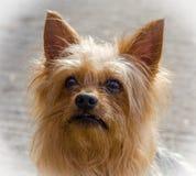 Yorkshire terrier. Miniature Yorkshire terrier dog head portarait Stock Photo