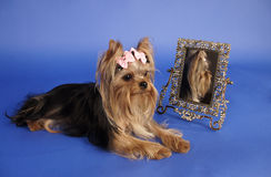 Yorkshire terrier with mirror Royalty Free Stock Photography