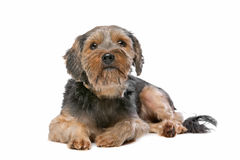 Yorkshire terrier misturado da raça Imagens de Stock