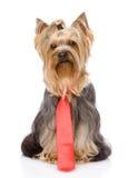 Yorkshire Terrier mit Bindung Getrennt auf weißem Hintergrund Lizenzfreies Stockfoto