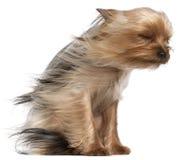 Yorkshire-Terrier mit dem Haar im Wind Lizenzfreies Stockbild