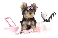 Yorkshire-Terrier mit Pflegenprodukten Lizenzfreie Stockbilder