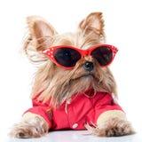 Yorkshire-Terrier mit roten Gläsern Stockbilder