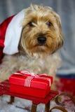 Yorkshire-Terrier mit Weihnachtshut, süßes Gesicht Lizenzfreies Stockfoto