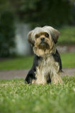Yorkshire terrier mix dog on lawn Stock Photos