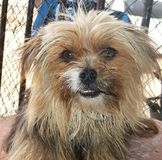 Yorkshire Terrier Mix with teeth showing Stock Photos