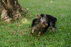 Yorkshire Terrier (3 months). Yorkshire Terrier Dog Playing in the Yard Stock Photography