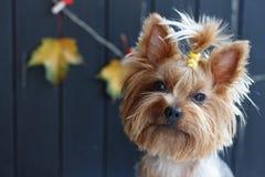 Yorkshire-Terrier nahe dem schwarzen Zaun mit Herbstgelb verlässt Stockfotografie