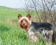Yorkshire terrier named Caesar. Yorkshire Terrier Dog Breed  Home Yorkshire terrier pet dogs Stock Images