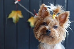 Yorkshire terrier near the black fence with autumn yellow leaves Stock Photography