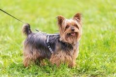 Yorkshire terrier nel parco fotografia stock libera da diritti