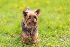 Yorkshire terrier nel parco immagini stock