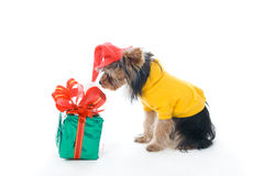 Yorkshire terrier in a New Year's hat Stock Photography