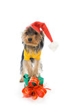 Yorkshire terrier in a New Year's hat Royalty Free Stock Images