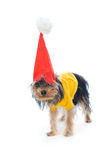 Yorkshire terrier in a New Year's hat Royalty Free Stock Image