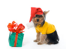 Yorkshire terrier in a New Year's hat Royalty Free Stock Photo
