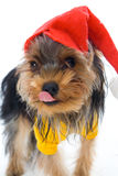 Yorkshire terrier in a New Year's hat Stock Photo