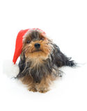 Yorkshire terrier in a New Year's hat Stock Photos