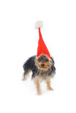Yorkshire terrier in a New Year's hat Royalty Free Stock Photography