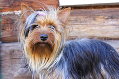 Yorkshire Terrier. Nice Yorkshire Terrier in a village Stock Images