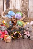 Yorkshire terrier Niki, easter bunny is really.. stock images