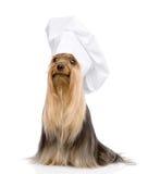 Yorkshire terrier no chapéu do cozinheiro chefe que olha afastado Isolado no branco Imagens de Stock