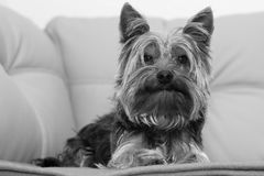 Yorkshire-Terrier Foto de Stock Royalty Free