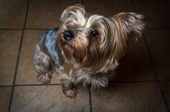 Yorkshire Terrier obéissant Photos stock