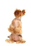 The Yorkshire Terrier obeys Stock Photos