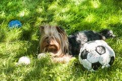 Yorkshire Terrier och fotboll Royaltyfri Foto