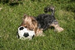 Yorkshire Terrier och fotboll Royaltyfri Fotografi