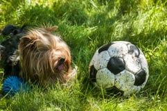 Yorkshire Terrier och fotboll Fotografering för Bildbyråer