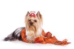 Yorkshire terrier och pärlor fotografering för bildbyråer