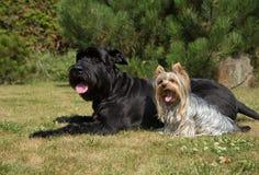Yorkshire Terrier och stor svart Schnauzer Dod på gräsmattan arkivbilder